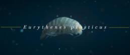 WWF Eurythenes Plasticus species